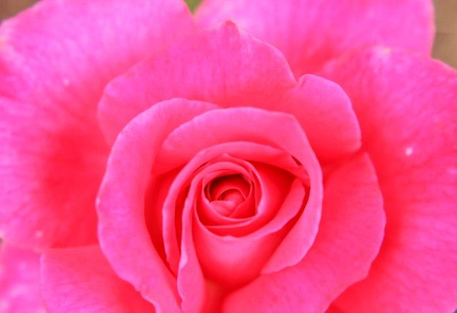 roses-6