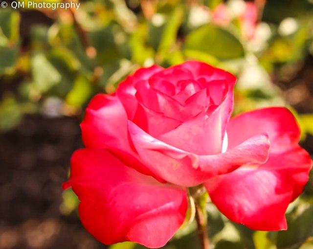 roses-25